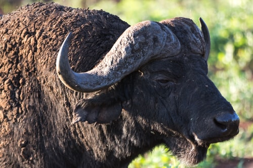 The African Buffalo, the most dangerous of the big five