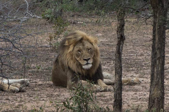 Lion laying in Kruger National South Africa