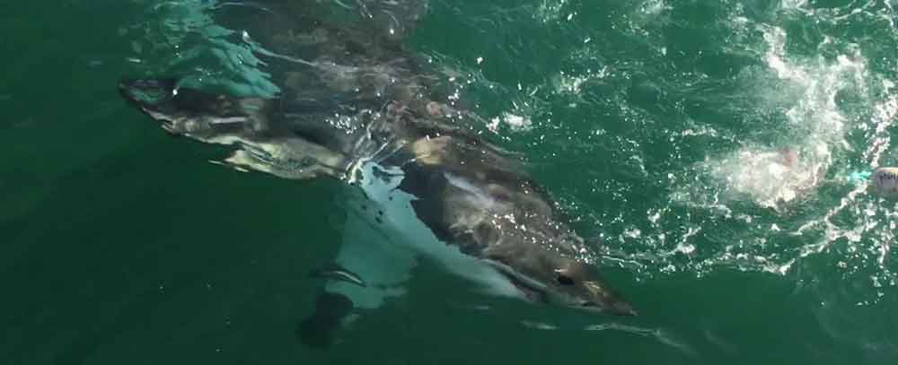 Shark diving with great whites in Gansbaai, South Africa