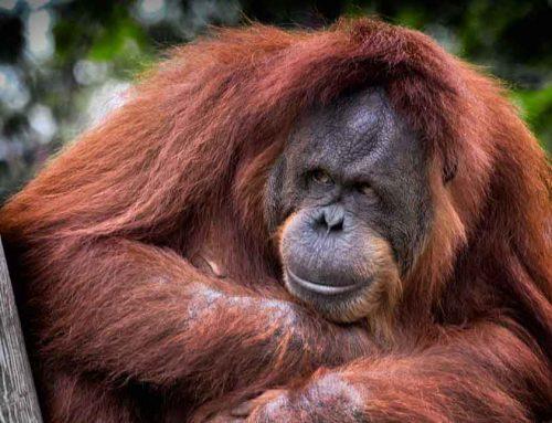 6 Ways Orangutans Are Just Like Us