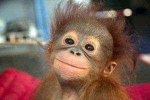 Smiling baby orangutan