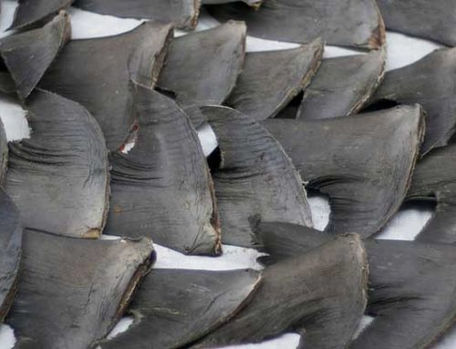 A Cruel and Unsustainable Practice: How Can We Stop Shark Finning