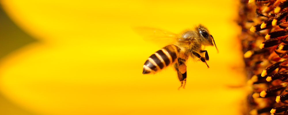 What is happening to the honey bee?