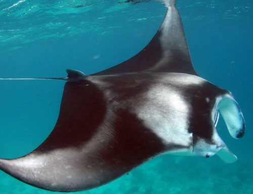 Mantas: Cloaked in Mystery