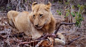 Searching For The Big Five in Africa