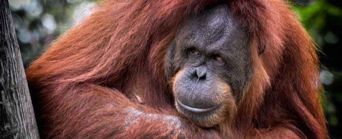 5 Ways Orangutans Are Just Like Us