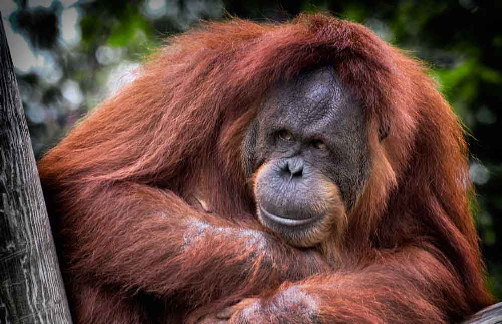 5 Ways Orangutans Are Just Like Us