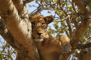The Canned Hunt and The Controversy of Breeding Lions for Sport