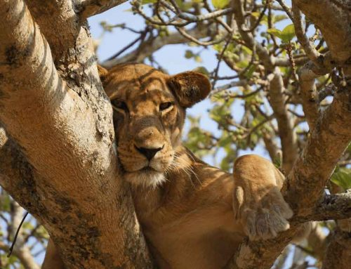 Canned Hunting: Breeding Lions for Sport