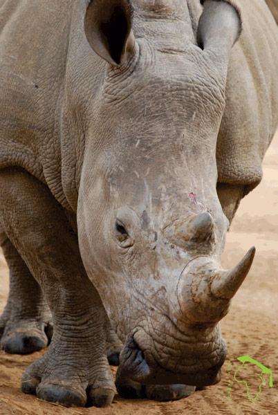 A white rhino Ceratotherium simum