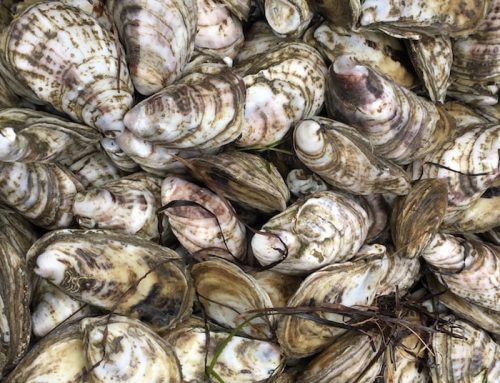 My Secret Quest To Be An Oyster Farmer