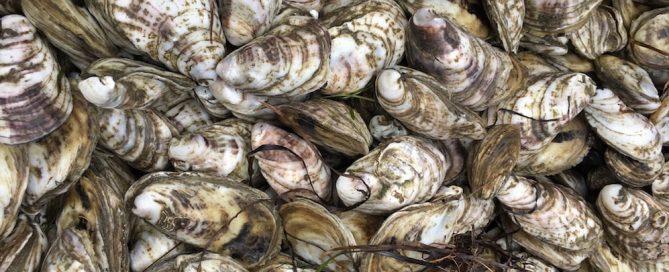 Delaware Bay (Debbie) Oysters