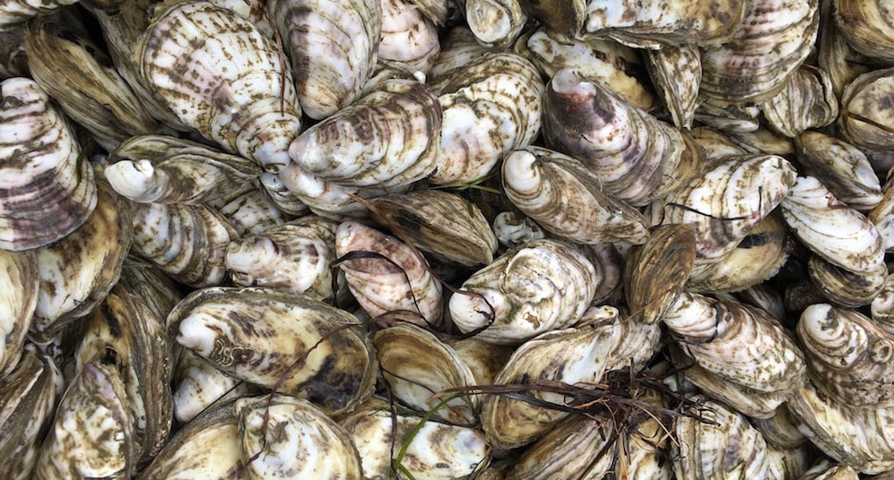 Image result for pamlico bay oysters