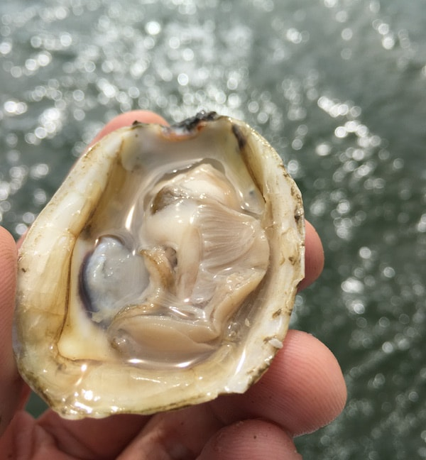 Freshly opened oyster in Pamlico Sound
