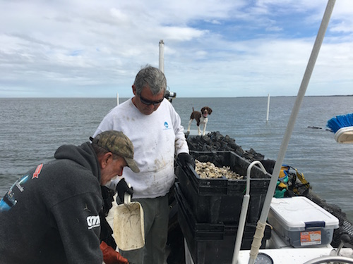 Sorting through oysters in Pamlico Sound, Hatteras