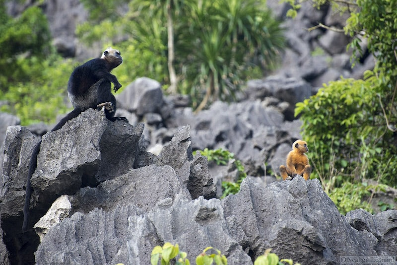 Adult and infant Cat Ba Langur (Trachypithecus poliocephalus) sitting on rocks