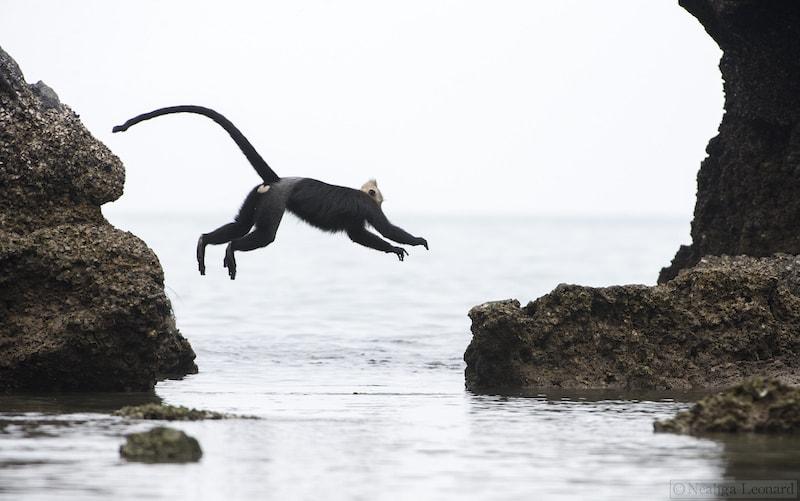 Jumping langur sea level - Cua Dong